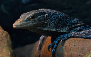 Blue Spotted Tree Monitor Wallpapers HD