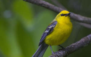 Blue Winged Warbler Background