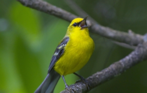Blue Winged Warbler HD Desktop