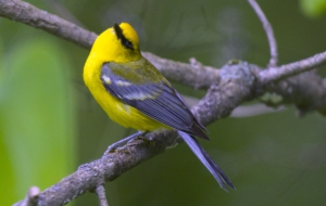 Blue Winged Warbler HD Wallpaper