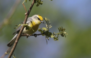 Blue Winged Warbler High Quality Wallpapers