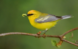Blue Winged Warbler Wallpapers
