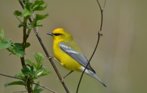 Blue Winged Warbler Wallpapers HD