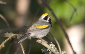 Blue Winged Warbler Widescreen