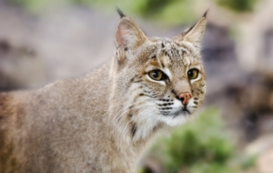 Bobcat Full HD
