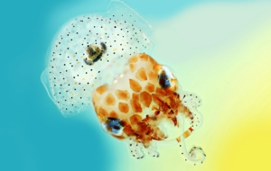 Bobtail Squid Images
