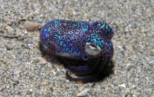 Bobtail Squid Pictures
