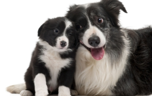 Border Collie Free HD Wallpapers