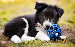 Border Collie Free Images