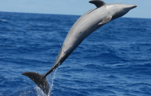 Bottlenose Dolphin HD