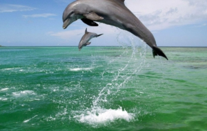 Bottlenose Dolphin HD Wallpaper
