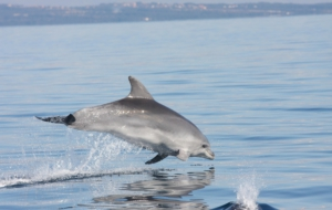 Bottlenose Dolphin Full HD