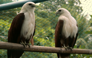 Brahminy Kite High Definition Wallpapers