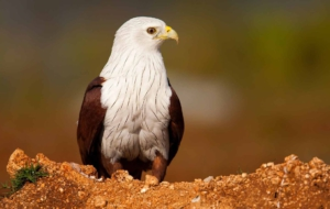 Brahminy Kite Photos