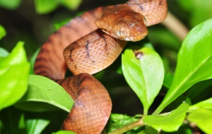 Brown Tree Snake Pictures