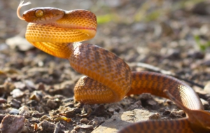 Brown Tree Snake Widescreen