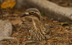Bush Stone Curlew High Definition Wallpapers