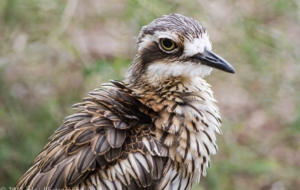 Bush Stone Curlew Pictures