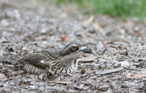 Bush Stone Curlew Wallpapers HD