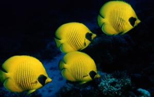 Butterflyfish Pictures