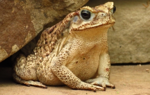 Cane Toad Background