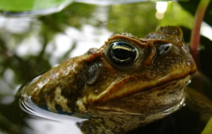 Cane Toad Computer Backgrounds