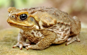 Cane Toad HD Background