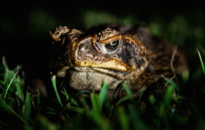 Cane Toad HD Desktop