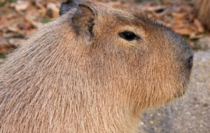 Capybara HD Wallpaper
