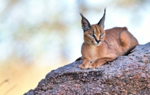 Caracal Desktop