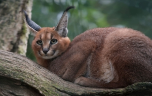 Caracal For Desktop