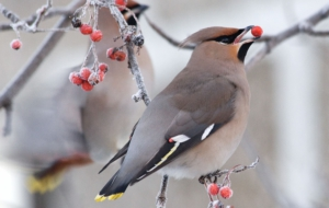 Cedar Waxwing Computer Backgrounds