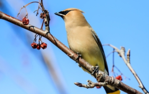 Cedar Waxwing Desktop Wallpaper