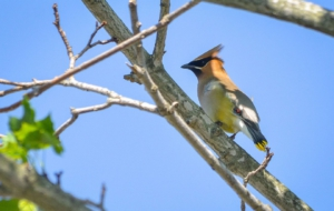 Cedar Waxwing HD Background