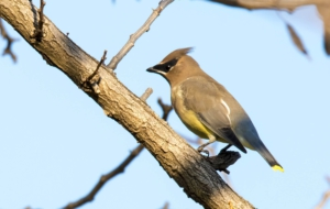 Cedar Waxwing HD Wallpaper