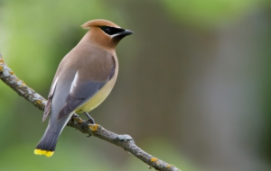 Cedar Waxwing High Definition Wallpapers