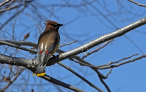 Cedar Waxwing For Desktop
