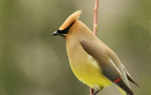 Cedar Waxwing For Desktop Background