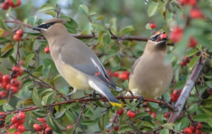 Cedar Waxwing Full HD