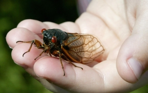 Cicada Download