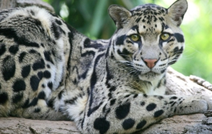 Clouded Leopard Desktop Images
