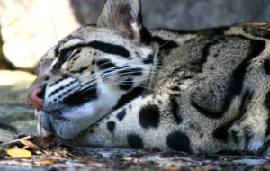 Clouded Leopard Download