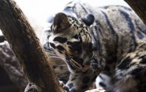 Clouded Leopard HD