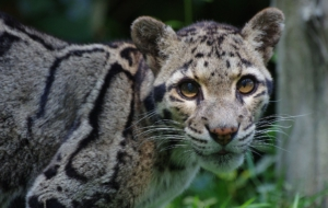 Clouded Leopard HD Desktop