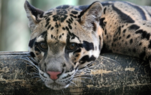 Clouded Leopard HD Wallpaper
