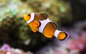 Clownfish Free Images