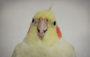 Cockatiel High Quality Wallpapers