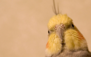 Cockatiel Wallpapers And Backgrounds