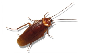 Cockroach HD Desktop