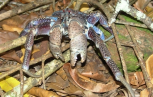 Coconut Crab 4K